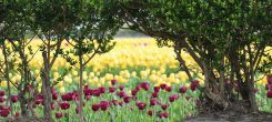 Enjoy the blooming flower fields with a Flower Tour