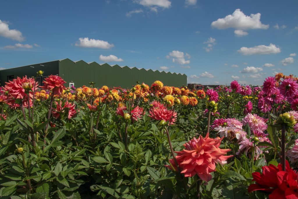 Dahlia zomerbloemen