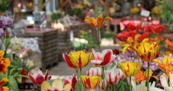 Leer alles over het kweken van tulpenbollen